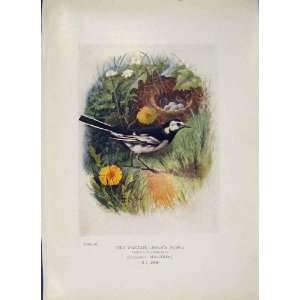 Pied Wagtail Bird Egg Colour Antique Old Print Fine Art
