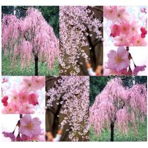 50 x JAPANESE Weeping Cherry Tree Seeds   EXCELLENT BONSAI