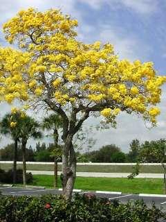 Tabebuia caraiba SILVER TAB YELLOW TRUMPET TREE ~PLANT~