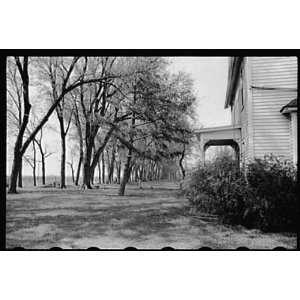 Photo Lane of trees in front yard of farmhouse, Jasper