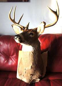 10 Point BUCK Whitetail DEER Hunt TAXIDERMY Mount HUGE