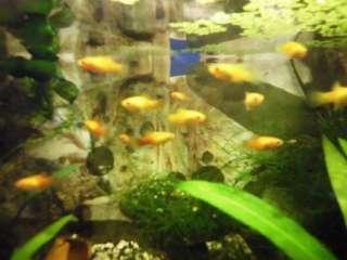 orange goldene Hochflossen   Platys   Jungfische abzugeben in Sachsen