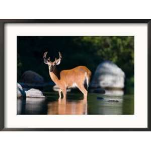 Whitetail Deer Buck in Katahdin Lake, Northern Forest, Maine, USA
